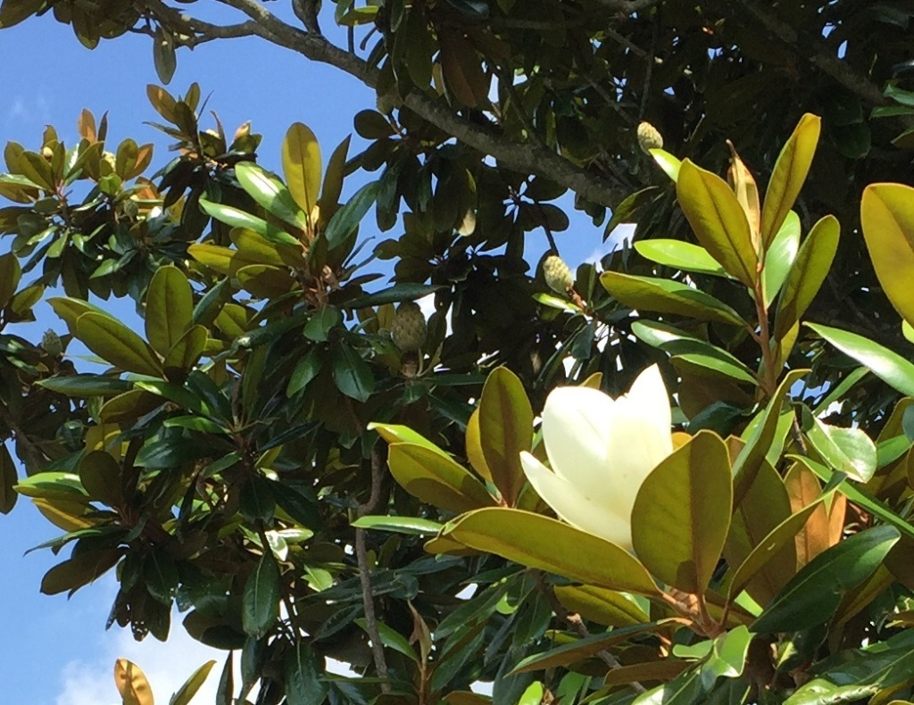 Image of blossoming magnolia tree.